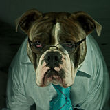 Dog in glasses on office. A blue brindle Olde English Bulldog a normal working day in the office with glasses, tie and shirt Royalty Free Stock Photos