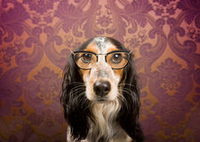 Dog with glasses portrait. Dog with glasses and serious look in front of retro wallpaper Stock Photos