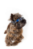 Dog with glasses portrait on white. Stock Image