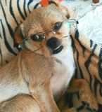 Dog looks glasses better than her human royalty free stock images