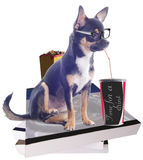 Dog with glasses take a break after study isolated white background Stock Photography