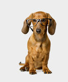 Dog in Glasses on White, Smart Dachshund Royalty Free Stock Photography
