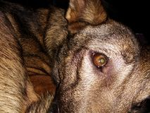 Dog with gloomy eyes. The dog is in sad mood and waiting for his owner Stock Image