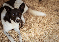 Dog with gloomy face resting on wood chips. Royalty Free Stock Photos