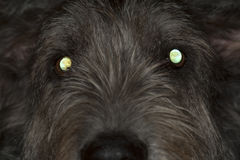 Dog with glowing eyes Royalty Free Stock Photo
