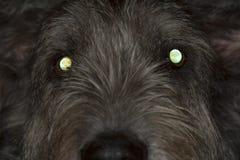 Dog with glowing eyes. Glowing eyes of irish wolfhound Royalty Free Stock Photo