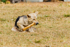 Dog gnawing on a bone in the Grass. Stock Image
