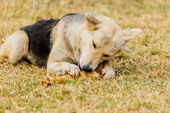 Dog gnawing on a bone in the Grass. Dog gnawing on a bone in the Grass Royalty Free Stock Photos