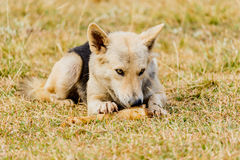 Dog gnawing on a bone in the Grass. Dog gnawing on a bone in the Grass Royalty Free Stock Photography