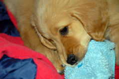Dog gnawing a slipper Stock Image