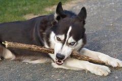 Dog gnawing stick Stock Image
