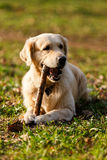 Dog gnawing stick on lawn. Dog gnawing stick lying on lawn in park Royalty Free Stock Images