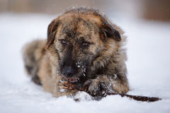 The dog gnaws a stick on snow. Stock Photo