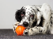 Dog gnaws toy. A cute Dog gnaws toy Royalty Free Stock Photography