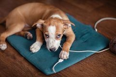 Dog gnaws USB wire. The puppy gnaws the USB wire. Looks into the frame with a guilty look royalty free stock photography