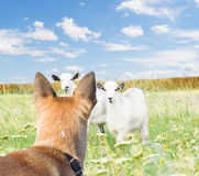 Dog and goats. On the lawn stock photos