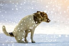 Dog goes to a toilet on the snow in winter stock images