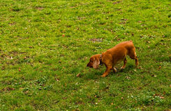 The dog goes on the trail Royalty Free Stock Photos