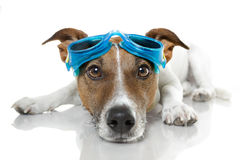 Dog goggles. Dog wearing blue swim goggles Stock Photography