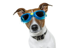 Dog goggles. Dog wearing blue swim goggles Stock Photos