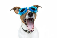 Dog goggles. Dog wearing blue swim goggles Royalty Free Stock Image