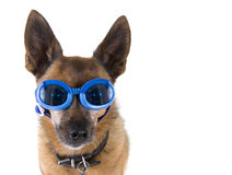 Dog goggles Stock Photo