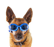 Dog goggles Royalty Free Stock Photo