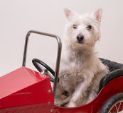 Dog going for a drive in the car royalty free stock photos