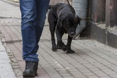 The dog going with owner in day. The dog going with owner in summer day stock photography