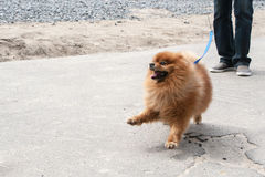 The dog going with owner Royalty Free Stock Images