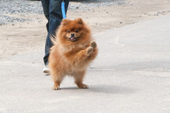 The dog going with owner Royalty Free Stock Image