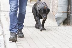 The dog going with owner in day. The dog going with owner in summer day stock photo