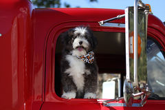 Dog going for a ride in a large truck. A cute black and white long haired dog going for a ride in a red freight truck with a bone bandana royalty free stock image