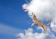 Dog is going to catch disc in the blue sky. The dog is going to catch disc in the blue sky royalty free stock photography