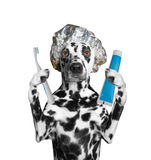 Dog is going to clean the teeth after showering. Isolate on white background royalty free stock photo