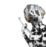Dog is going to clean the teeth after showering. Isolate on white background royalty free stock photos