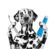 Dog is going to clean the teeth after showering. Isolate on white background stock image