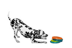 Dog is going to play disc Stock Photos