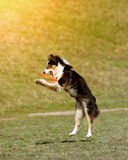 Dog is going to play disc Royalty Free Stock Photos