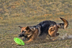Dog is going to play disc Stock Images