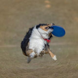 Dog is going to play disc on the grass. Radial Blur Stock Photo