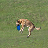 Dog is going to play disc on the grass. Radial Blur and only dog in focus Stock Image