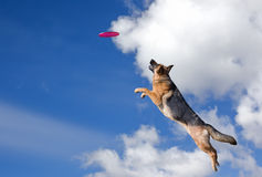 Dog is going to play disc. In the sky Royalty Free Stock Photography