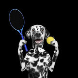 Dog is going to play tennis Stock Images