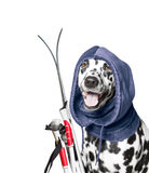 The dog is going to ski. In the winter royalty free stock photography