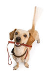 Dog Going For Walk Wagging Tail Stock Photography