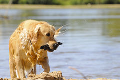 Dog golden. Is playing in the river Stock Photos