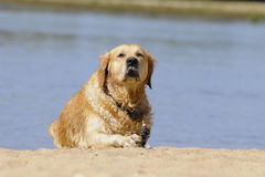 Dog golden Stock Images