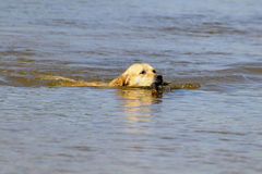 Dog golden. Is playing in the river Royalty Free Stock Photo