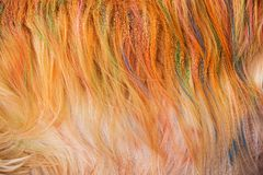 Dog Golden Hair coloring Royalty Free Stock Photo
